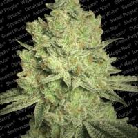 Jacky White Feminised Cannabis Seeds | Paradise Seeds