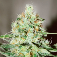 Jagg Kush Feminised Cannabis Seeds | Delicious Seeds