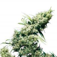 Jamaican Pearl Regular Cannabis Seeds | Sensi Seeds