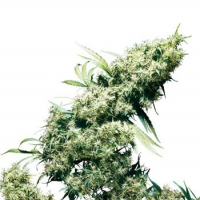 Jamaican Pearl Regular Cannabis Seeds | Sensi Seeds