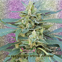 Jammy Auto Feminised Cannabis Seeds   Dr Krippling
