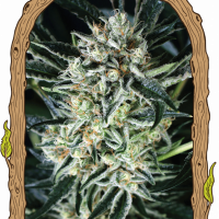 Jelly Bananen Feminised Cannabis Seeds | Exotic Seeds