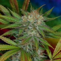 Jilly Bean Regular Cannabis Seeds| TGA Seeds