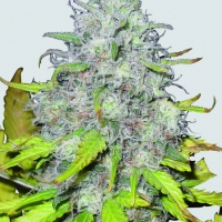 Auto Jock Horror Feminised Cannabis Seeds | Sativa Seedbank