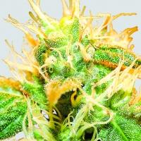 Jock Horror Regular Cannabis Seeds | Sativa Seedbank
