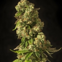 John Doe Regular Cannabis Seeds | Devil's Harvest Seeds