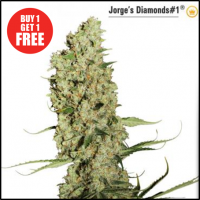 Jorge's Diamond #1 Feminised Cannabis Seeds | Dutch Passion