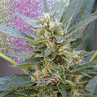 Jumping Jack Dash Auto Feminised Cannabis Seeds   Dr Krippling