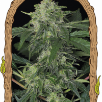 Jungle Fever Auto Feminised Cannabis Seeds | Exotic Seeds