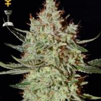 Green House Seeds K-Train Feminised Cannabis Seeds For Sale