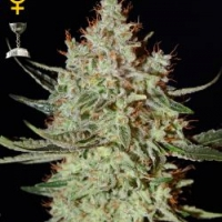 K-Train Feminised Cannabis Seeds | Green House Seeds