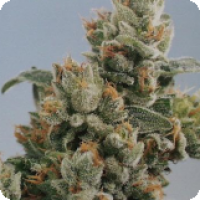 KC36 Feminised Cannabis Seeds | KC Brains Seeds