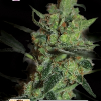 California Nugget Feminised Cannabis Seeds | Kera Seeds