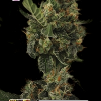 Cherry Grapefruit Feminised Cannabis Seeds | Kera Seeds