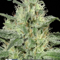Critical Auto Feminised Cannabis Seeds | Kera Seeds
