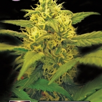 Dutch Power Feminised Cannabis Seeds | Kera Seeds