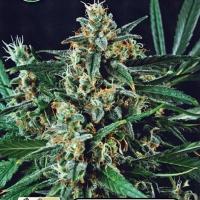 Dwarf Auto Feminised Cannabis Seeds | Kera Seeds