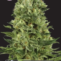 White Thunder Feminised Cannabis Seeds | Kera Seeds