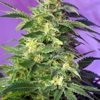 Killer Kush Auto Feminised Cannabis Seeds | Sweet Seeds