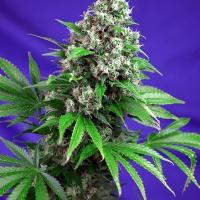 Killer Kush Fast V Feminised Cannabis Seeds | Sweet Seeds
