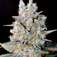Kritikal Bilbo Auto Feminised Cannabis Seeds