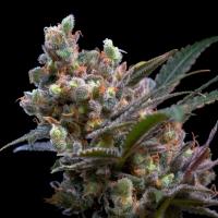 Kritikal Bilbo Feminised Cannabis Seeds