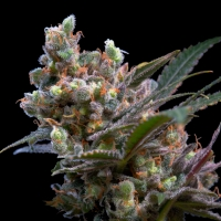Kritikal Bilbo Feminised Cannabis Seeds