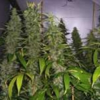 Kahuna Regular Cannabis Seeds | Soma Seeds