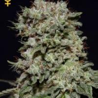 Kalashnikova Feminised Cannabis Seeds | Green House Seeds