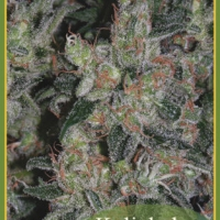 Kalichakra Regular Cannabis Seeds