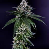 Ken's Kush Regular Cannabis Seeds | Grand Daddy Purp