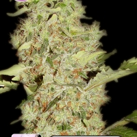 Bubblegum Feminised Cannabis Seeds | Kera Seeds