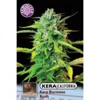 Burmese Kush Feminised Cannabis Seeds | Kera Seeds