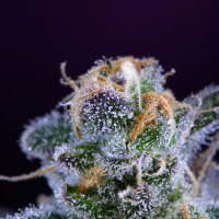 Killer Grape Regular Cannabis Seeds | TGA Seeds