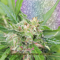Kripplicious Feminised Cannabis Seeds | Dr Krippling