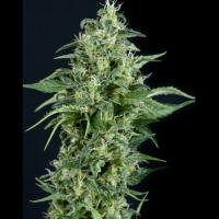 Kryptonite Feminised Cannabis Seeds | Pyramid Seeds