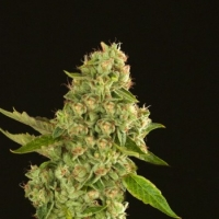 Kuchi Feminised Cannabis Seeds | Devil's Harvest Seeds