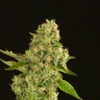 Kuchi Regular Cannabis Seeds   Devil's Harvest Seeds