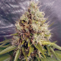Kush Mass Auto Feminised Cannabis Seeds | Garden of Green