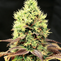 Kush n Cookies CBD Feminised Cannabis Seeds | Garden of Green