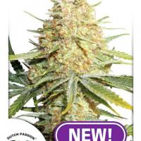 Lemon Zkittle Feminised Cannabis Seeds | Dutch Passion