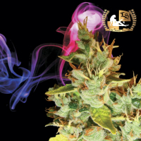 Aphasia Haze Regular Cannabis Seeds | Lady Sativa Genetics