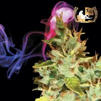 Aphasia Haze Regular Cannabis Seeds | Lady Sativa Genetics