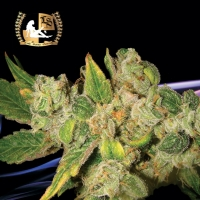 English O.G. Regular Cannabis Seeds | Lady Sativa Genetics