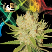 Knightsbridge O.G. Haze Regular Cannabis Seeds | Lady Sativa Genetics