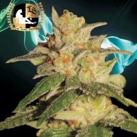 London City Diesel Regular Cannabis Seeds | Lady Sativa Genetics