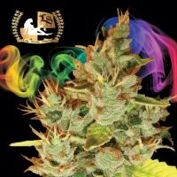 OrangeNesia Regular Cannabis Seeds | Lady Sativa Genetics