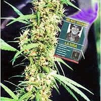 La Nina Regular Cannabis Seeds | Mr Nice Seeds