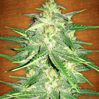 Lemon AK-47 Auto Feminised Cannabis Seeds | Fast Buds