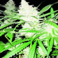 Lemon Ammo Feminised Cannabis Seeds | Dispensario Seeds